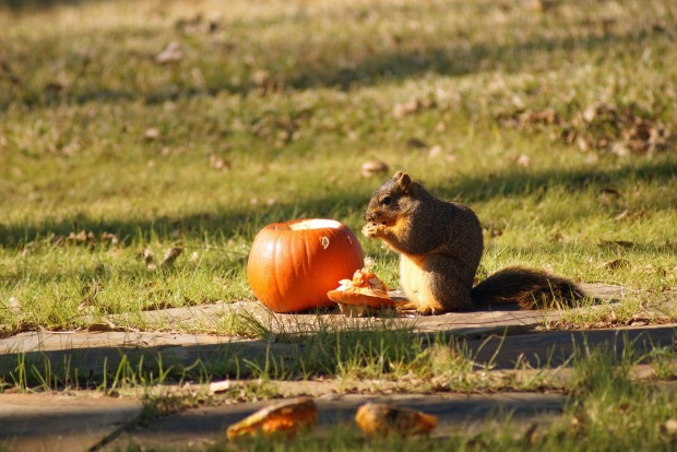 Feed pumpkin to wildlife
